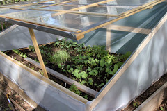 cold frame lettuce 192