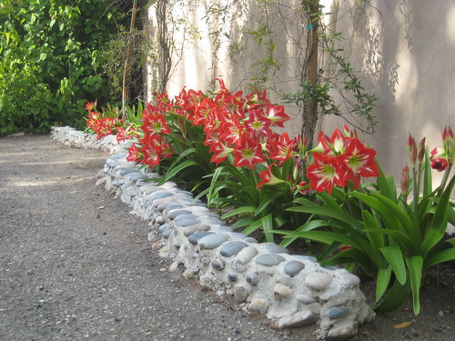 amaryllis in the canyon