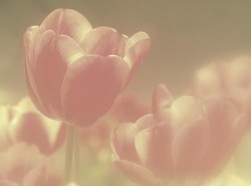 [フリー画像] 花・植物, 花・フラワー, チューリップ, 201004210700