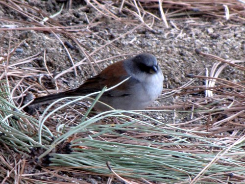 Redbacked Junco