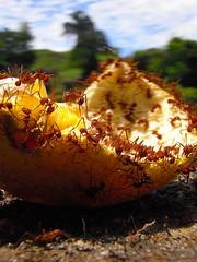 Assisted Decomposition (-Nes-) Tags: naturaleza macro nature bug death colombia hormigas ant ants decomposition naranja cobre descomposicion payande