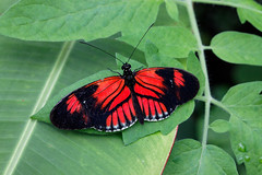 baudchon-baluchon-mindo-papillons-10
