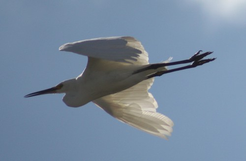 Little Egret 2 22-4-10