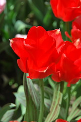 Tulip (thoth1618) Tags: nyc newyorkcity flowers flower garden tulips manhattan tulip upperwestside gothamist communitygarden tulipa westsidecommunitygarden annualtulipfestival