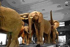 Akeley Hall of African Mammals (Agnaldo Pereira Miguel) Tags: newyorkcity newyork eua dioramas americanmuseumofnaturalhistory africanmammals carlakeley hallofafricanmammals