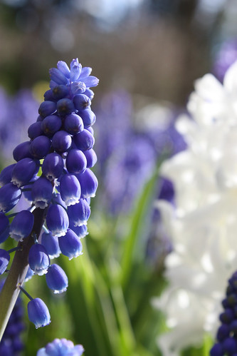 Grape and white hyacinths
