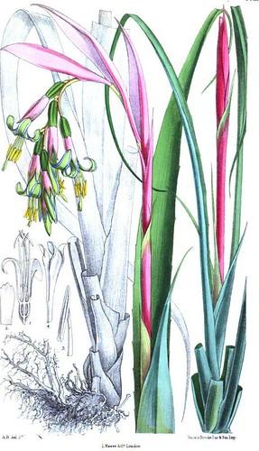 Bilbergia Nutans -Curtis' Botanical Magazine 1879