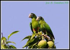 1-Amor cotorril sobre el mango(Novela 1era parte).Dedicada a una leyenda de Flickr, nuestra Carismatica Elsa Guerrero(La india del cibao) en su cumpleanos!!!Cotorra-Amazona Ventralis-Hispaniolan Parrot.ENDEMICA AMENAZADA!! Sierra encantada de Bahoruco,R.D (Cimarrn Mayor !!!4,000.000 DE VISITAS, GRACIAS!!) Tags: verde blanco azul rojo dominicanrepublic amiga sierra ave cumpleaos detalles republicadominicana cotorra puertoescondido panta dominicano rabodegato de