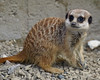 meerkat2,wildboar park, Chipping