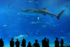 Okinawa Churaumi Aquarium (Teruhide Tomori) Tags: ocean blue sea fish japan aquarium shark big okinawa whaleshark  deepblue churaumi    oltusfotos saariysqualitypictures