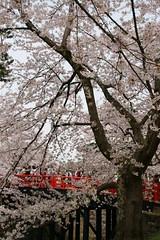 Hirosaki Sakura Festival, Aomori, Japan (shinyai) Tags: castle japan aomori  sakura hirosaki