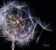 Dandelion   ҉/ (Faisal | Photography) Tags: white black flower macro nature studio soft dandelion explore pusteblume canonef100mmf28macro canoneos50d faisal|photography