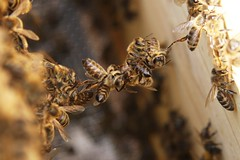 Baukette aus Bienen (blumenbiene) Tags: bienen bees bienenvolk hive imkerei beekeeping apiculture rähmchen kette chain honigbienen honey