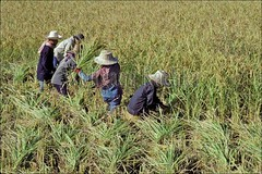 30021337 (wolfgangkaehler) Tags: people field work asian thailand workers asia asians rice farmers farming grain working harvest crop fields worker crops farmer grains agriculture ricefield ricefields economy harvesting northernthailand localpeople asianpeople harvestingrice localagriculture localeconomy localfarmer localfarmers peopleworldwide nothailand