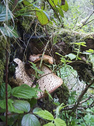 Giant Tree Fungus