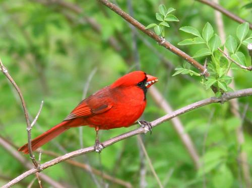 Northern Cardinal 20100515