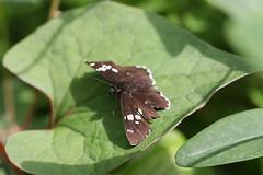 新治市民の森のチョウ(Butterfly at Niiharu Community Woods, Japan)