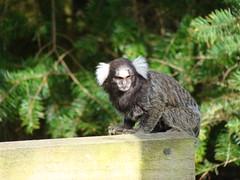 Marmoset (mattscat) Tags: park animals meerkat african stirling wildlife safari otter blairdrummond marmoset