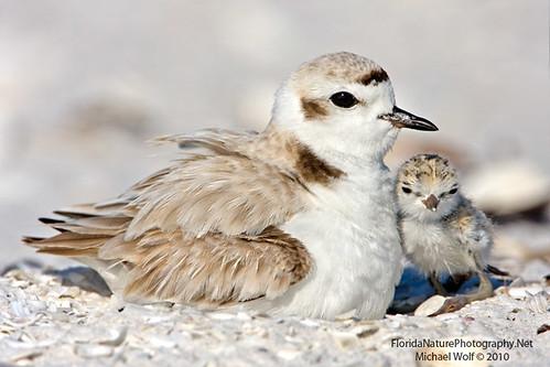 Snowy Plover & Newborn Chick  9950