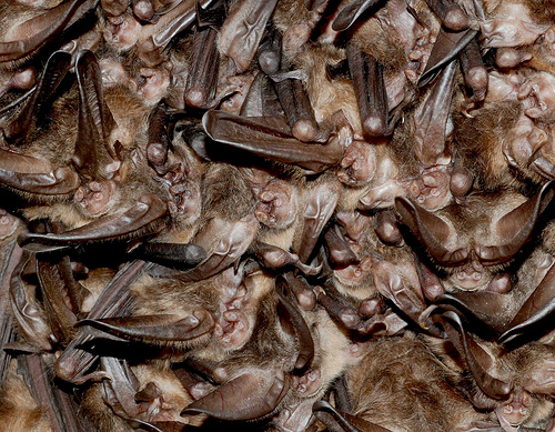 Virginia big-eared bats usfws, northeast