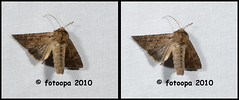 fotoopa 20100519_0291 (fotoopa) Tags: macro insect mirror stereoscopic stereophotography 3d crosseye crosseyed moth insects stereo moths thuis highspeed crossview nachtvlinder flyingobjects 3dmacro highspeedmacro fotoopa frontmirror dslrstereo frontsidemirror 3dinsects 3dinflight insectnightflight crosseyedphotography