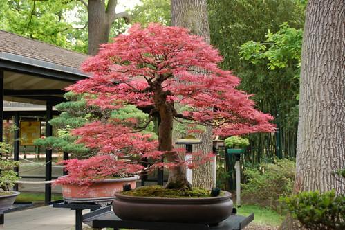 Butterfly Japanese Maple Bonsai Bonsai Japanese Maple