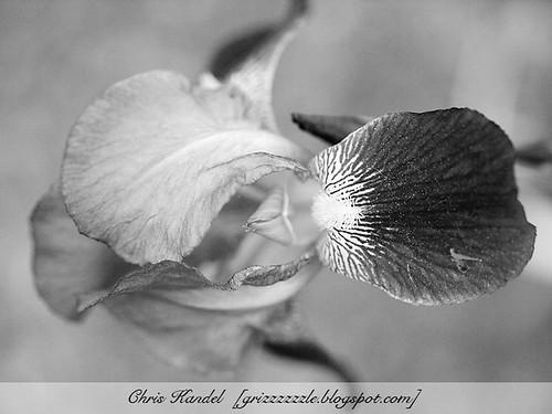 Iris BW 1