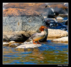 Beautiful Merganser duck (Doris Hawrelluk - D & D Photo Sudbury) Tags: road summer bird nature beautiful canon river duck fishing awesome vivid boating sensational breathtaking 2010 kilarney merganser supershot awesomephoto jesseyjames internationalflickrawards wahnapatie