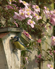 The Pass....        (series of 3-feeding sequence) (marsch1962) Tags: garden clematis bluetit nesting nikon80400vr thewonderfulworldofbirds nikond300s
