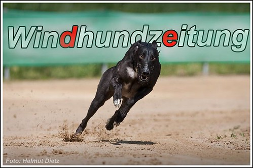 Greyhound Cashen Gerry