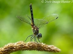 Dragonfly (Image Hunter 1) Tags: macro nature louisiana dragonfly bokeh bayou swamp marsh mywinners anawesomeshot bayoucourtableau panasonicfz35