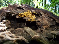 creeping fungi