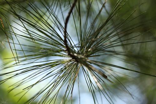 Yachica 55mm Macro ML: pine needles