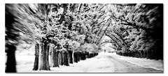 Serenity Now ([ Kane ]) Tags: trees bw blur lensbaby focus soft path line nsw kane gledhill 50d kanegledhill kanegledhillphotography