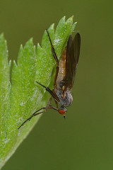 Empis species (henk.wallays) Tags: fly flies species mouche diptera vlieg vliegen empis dansvlieg dansvliegen 20100529p