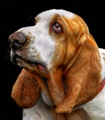 types, of hounds, bassett hound picture