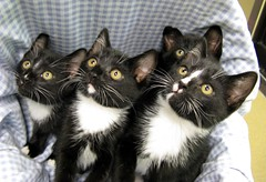 Four Kittens - Seven Eyes (Pixel Packing Mama) Tags: heartlandhumanesociety catpix pixelpackingmama siblingspool dorothydelinaporter greatpixgallery10faves montanathecat~fanclub montanathecat~fanclubpool 20commentsandup bonzag ceruleanthecat~fanclub ceruleanthecat~fanclubpool justmoggiespool worldsfavoritepool 1025favouritespool multiplecatspool 50plusphotographersaged50andbetterpool favoritedpixfirsthalfof2010set pixuploadedfirsthalfof2010set pixtakeninfirsthalfof2010set picturestakenwithcanonpowershota2000isin2010set catskittensstartingjanuary12010set favup060510 pixelpackingmama~prayforkyronhorman oversixmillionaggregateviews over430000photostreamviews