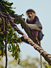 Douc Langur (nicklwc) Tags: animals photography nikon singapore wildlife primate singaporezoo d300 douclangur