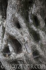 ShotzTour-0421 (ShotzTour.com) Tags: greece treetrunk bark naxos photographytour olafreinen wwwshotztourcom