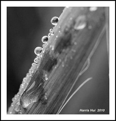 Macro Rain Drops N2139e (Harris Hui (in search of light)) Tags: bw canada abstract macro 6x6 nature water monochrome rain yoga closeup vancouver mediumformat square mono blackwhite droplets nikon dof bc rainyday bokeh richmond squareformat mind raindrops meditation digitalbw waterdrops upclose amateur macrolens macrophotography d300 closerandcloser nikonuser nikon105mmmacro natureabstract mindyoga picturesathome nikond300 rollingballs harrishui vancouverdslrshooter vancovuerdslrshooter macromeditation squarebycropping keepingtheballsrolling