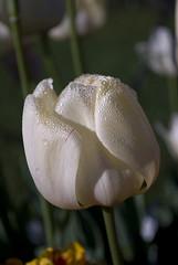 Colorful Tulips (justkanishk) Tags: flowers ny newyork flower macro nature beautiful festival closeup spring tulips upstateny tulip albany mothernature 2010 washingtonpark altamont schenectady larkstreet capitalregion kanishk macroshots guilderland rastogi tulipbed justkanishkphotography