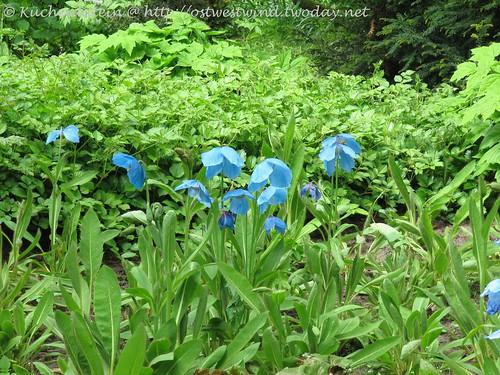 Blauer Mohn Arboretum