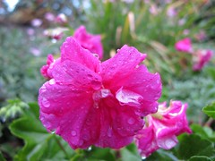 2010-05-22 22 022 (Michael Ong) Tags: travel flower flickr sydney australia nsw facebook leura