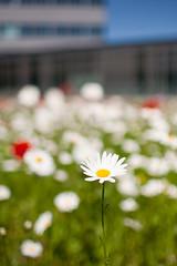 Urban flora (Victor van Dijk (Thanks for 4M views!)) Tags: flowers red favorite white green daisies canon groen dof bokeh fave poppies rood wit bloemen klaproos faved klaprozen 35l canonef35mmf14lusm margrieten victormk1 wwwvictorvandijkcom