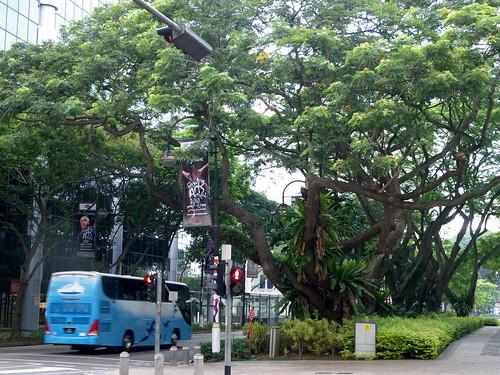 市區道路旁高大的行道樹