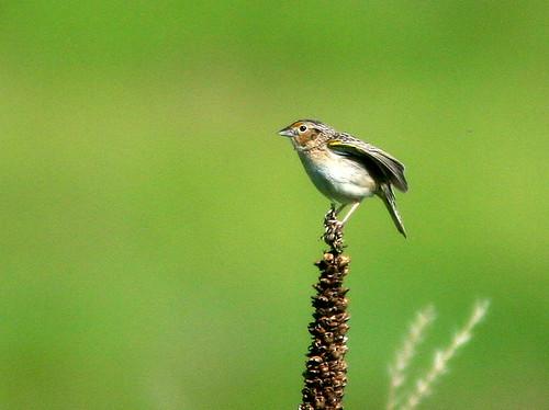 Grasshopper Sparrow 3-20100607
