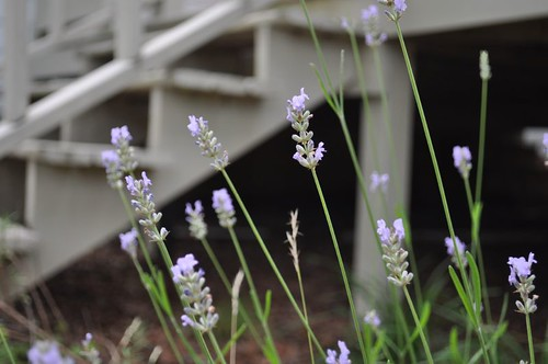 lavandula augustifolia