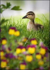 Loner (Silverbird_4) Tags: baby grass animal garden duck backyard alone duckling loner babyanimal violas babyduck