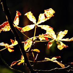 Autumn Gold (Dave Hilditch Photography) Tags: autumn trees sun leaves sunshine essex horsechestnut greatphoto supershot itsawonderfulworld mywinners abigfave anawesomeshot rubyphotographer kunstplatzlinternational dragondaggerphoto artofimages daarklands newgoldenseal topsevengroup
