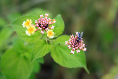 The Fly & Wild Flower!